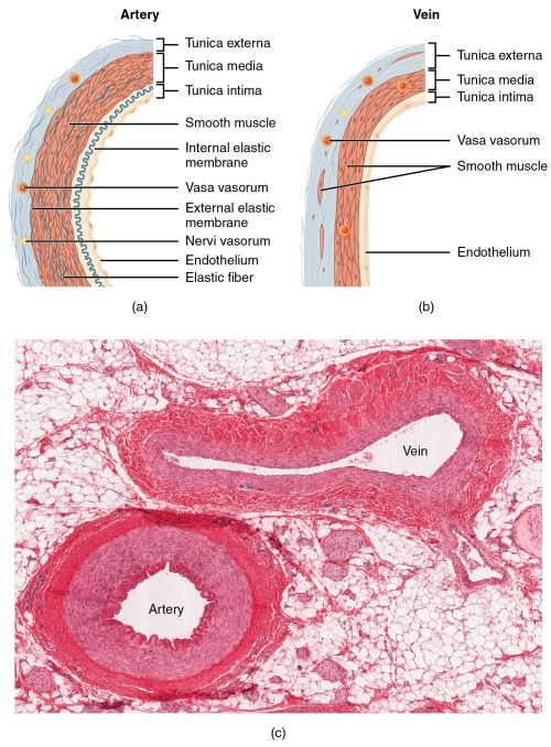 small resolution of the top left panel of this figure shows the ultrastructure of an artery and the