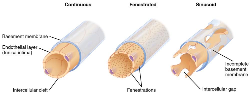 medium resolution of fenestrated capillaries