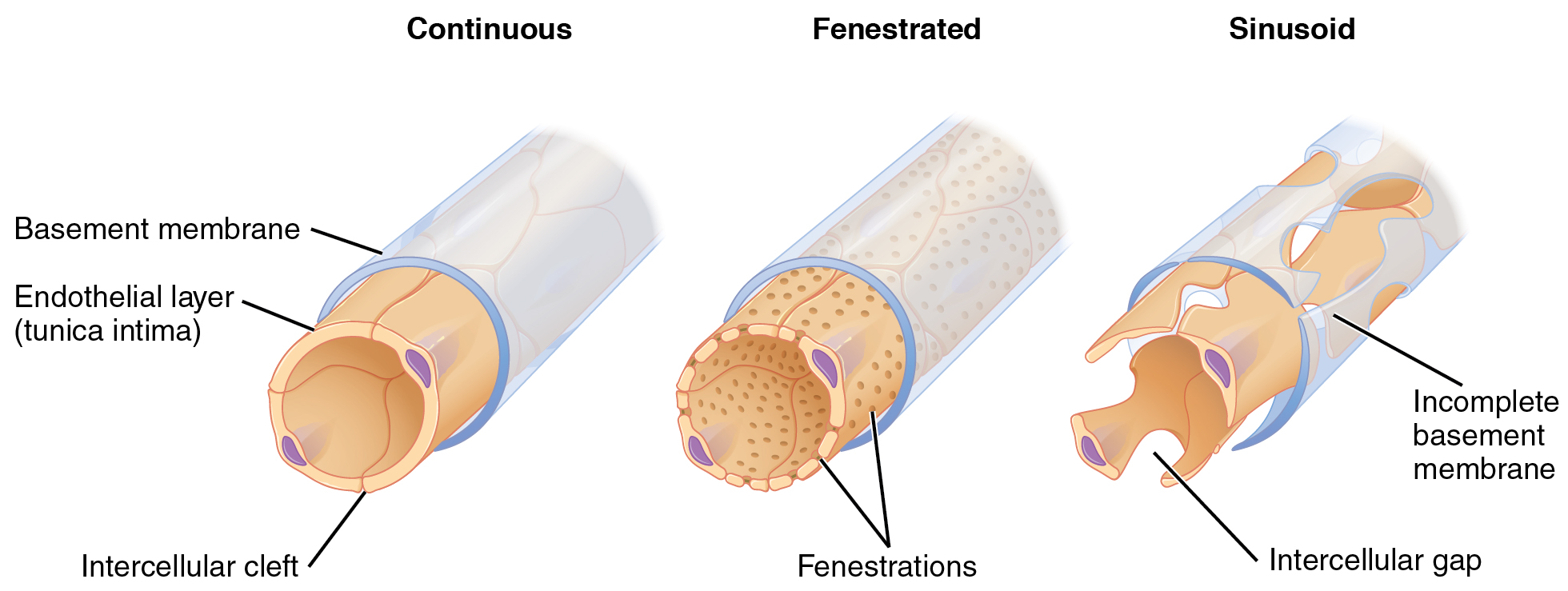 hight resolution of fenestrated capillaries