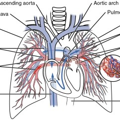 Labled Diagram Of The Lungs 2004 Gmc 2500hd Radio Wiring 20 5 Circulatory Pathways  Anatomy And Physiology