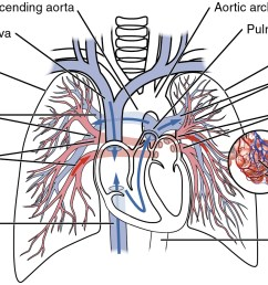 this diagram shows the network of blood vessels in the lungs  [ 1507 x 868 Pixel ]