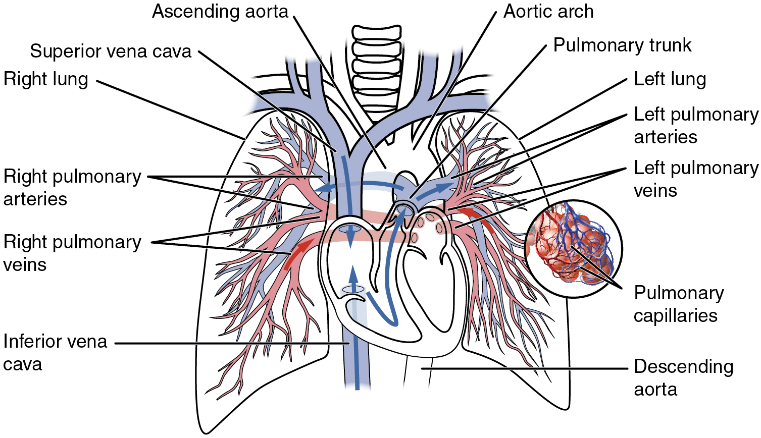 hight resolution of this diagram shows the network of blood vessels in the lungs