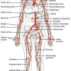 Vascular Anatomy Diagram Lower 89 Ford Bronco Wiring 20 5 Circulatory Pathways And Physiology This Diagrams Shows The Major Arteries In Human Body
