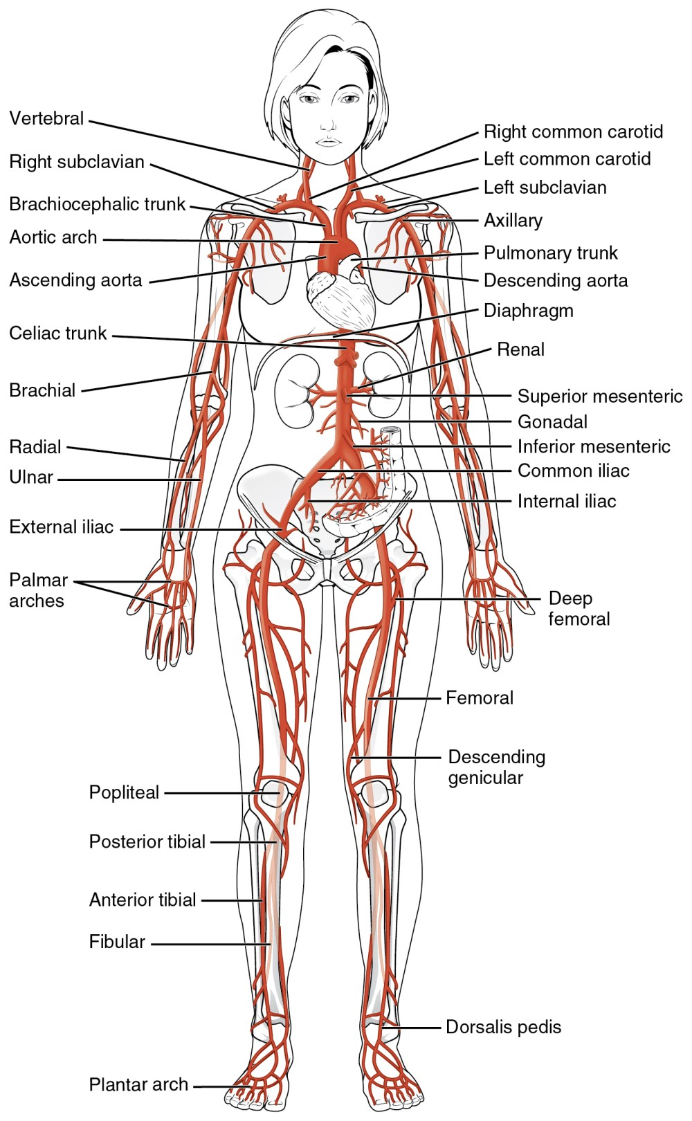 medium resolution of this diagrams shows the major arteries in the human body