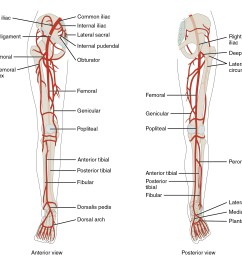 the left panel shows the anterior view of arteries in the legs and the right [ 2012 x 1781 Pixel ]