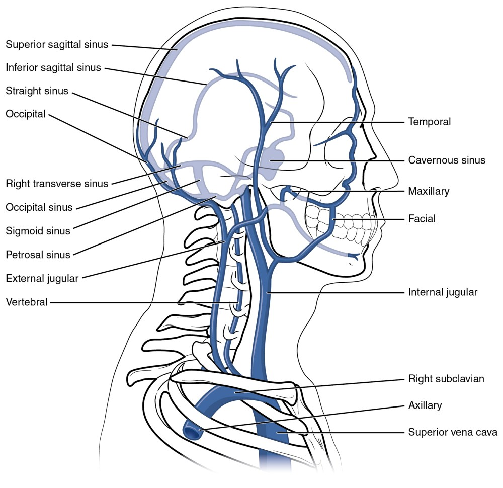 medium resolution of this diagram shows the veins present in the head and neck
