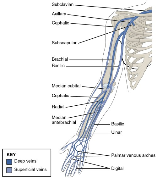 small resolution of this diagram shows the veins present in the upper limb