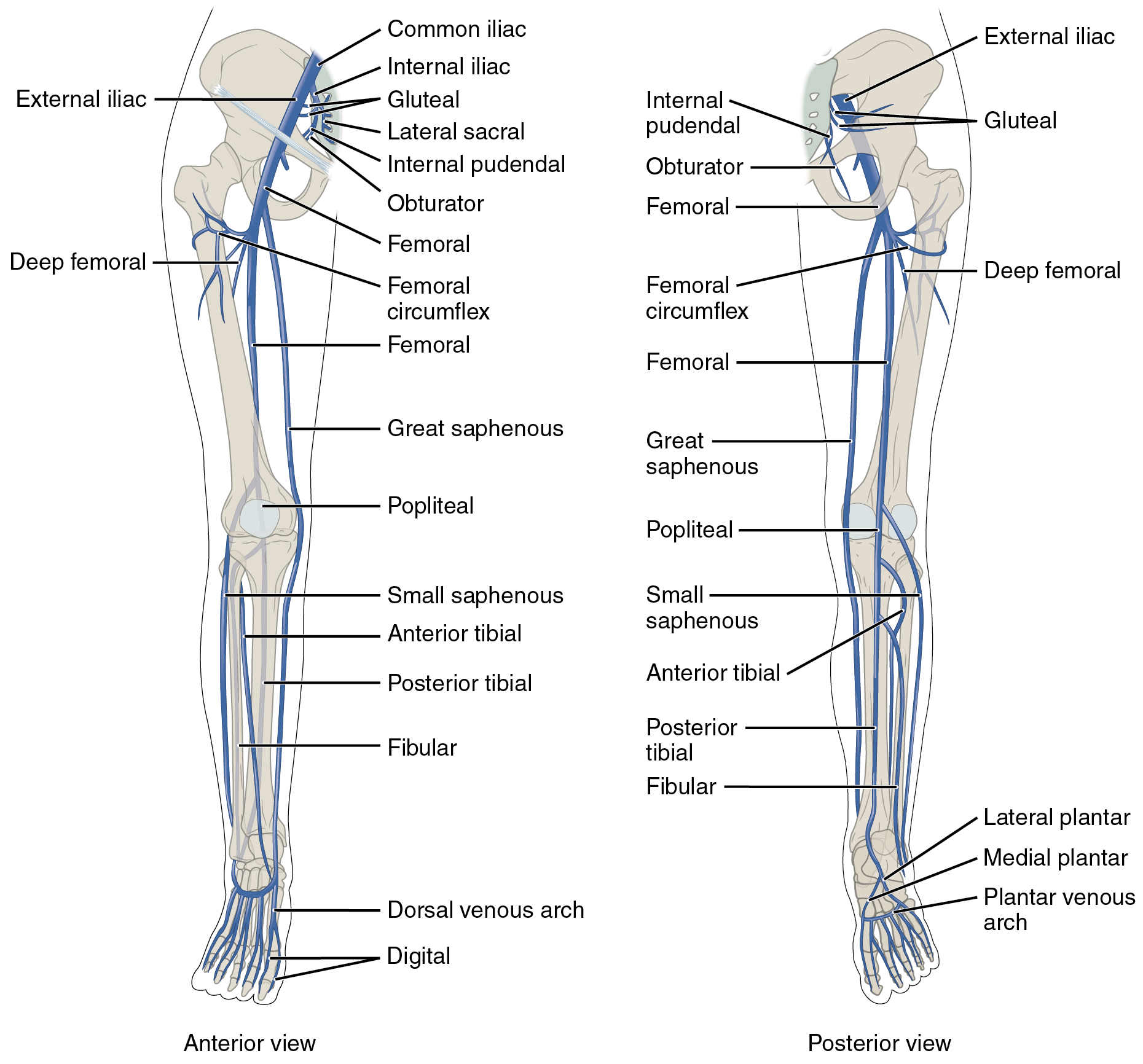 hight resolution of the left panel shows the anterior view of veins in the legs and the right figure 20