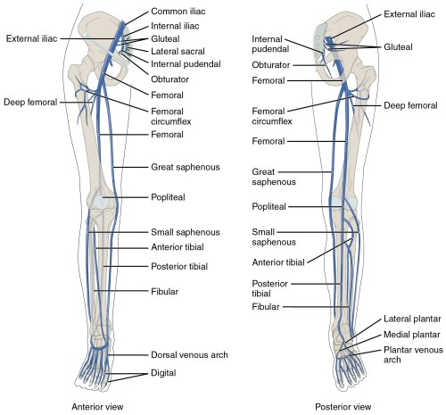 small resolution of the left panel shows the anterior view of veins in the legs and the right figure 20