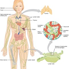 Location Of Lymph Nodes In Armpit Diagram Toyota 4 Wire Oxygen Sensor Wiring 21 1 Anatomy The Lymphatic And Immune Systems