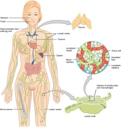 the left panel shows a female human body and the entire lymphatic system is shown [ 1115 x 1181 Pixel ]