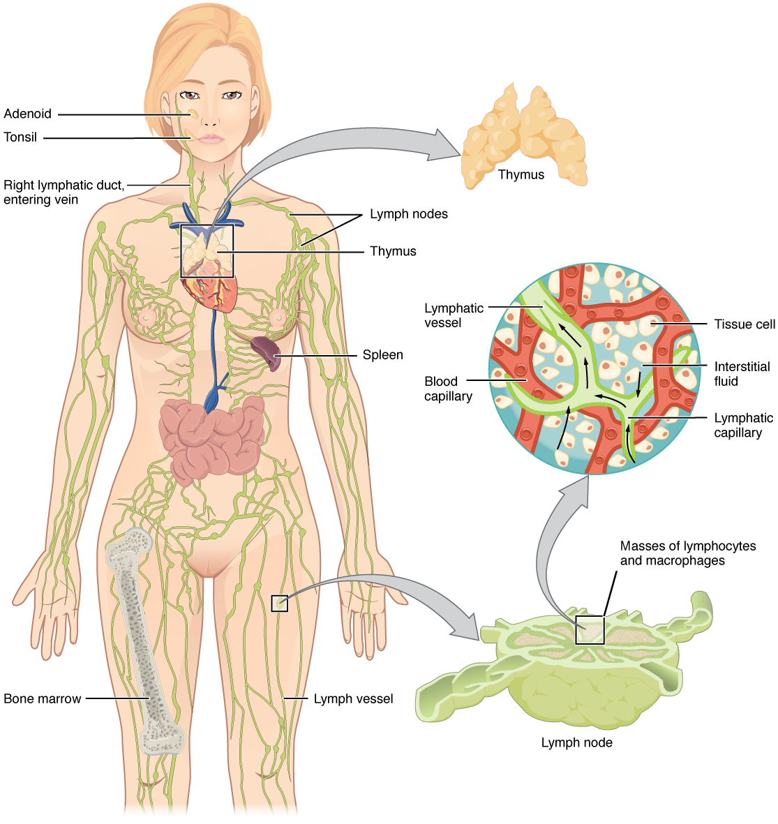 hight resolution of the left panel shows a female human body and the entire lymphatic system is shown