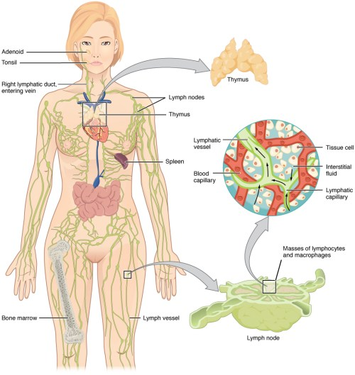 small resolution of the left panel shows a female human body and the entire lymphatic system is shown