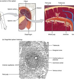 the top left panel shows the location of the spleen in the human body the [ 1036 x 979 Pixel ]