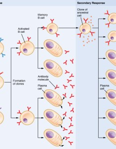 Clonal selection of  cells also the adaptive immune response lymphocytes and antibodies rh opentextbc