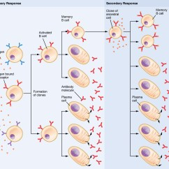 Diagram Of How Vaccines Work Pioneer Avh P4000dvd Wiring 21 4 The Adaptive Immune Response B Lymphocytes And Antibodies Clonal Selection Cells