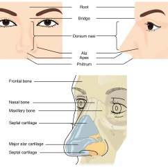Diagram Of The Human Nose 2006 Ford Ranger Fuse 22 1 Organs And Structures Respiratory System Anatomy This Figure Shows Top Left Panel Front View