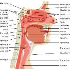 Label The Following Diagram Of Respiratory System Paper Making Process 22 1 Organs And Structures Anatomy This Figure Shows A Cross Section View Nose Throat Major Parts