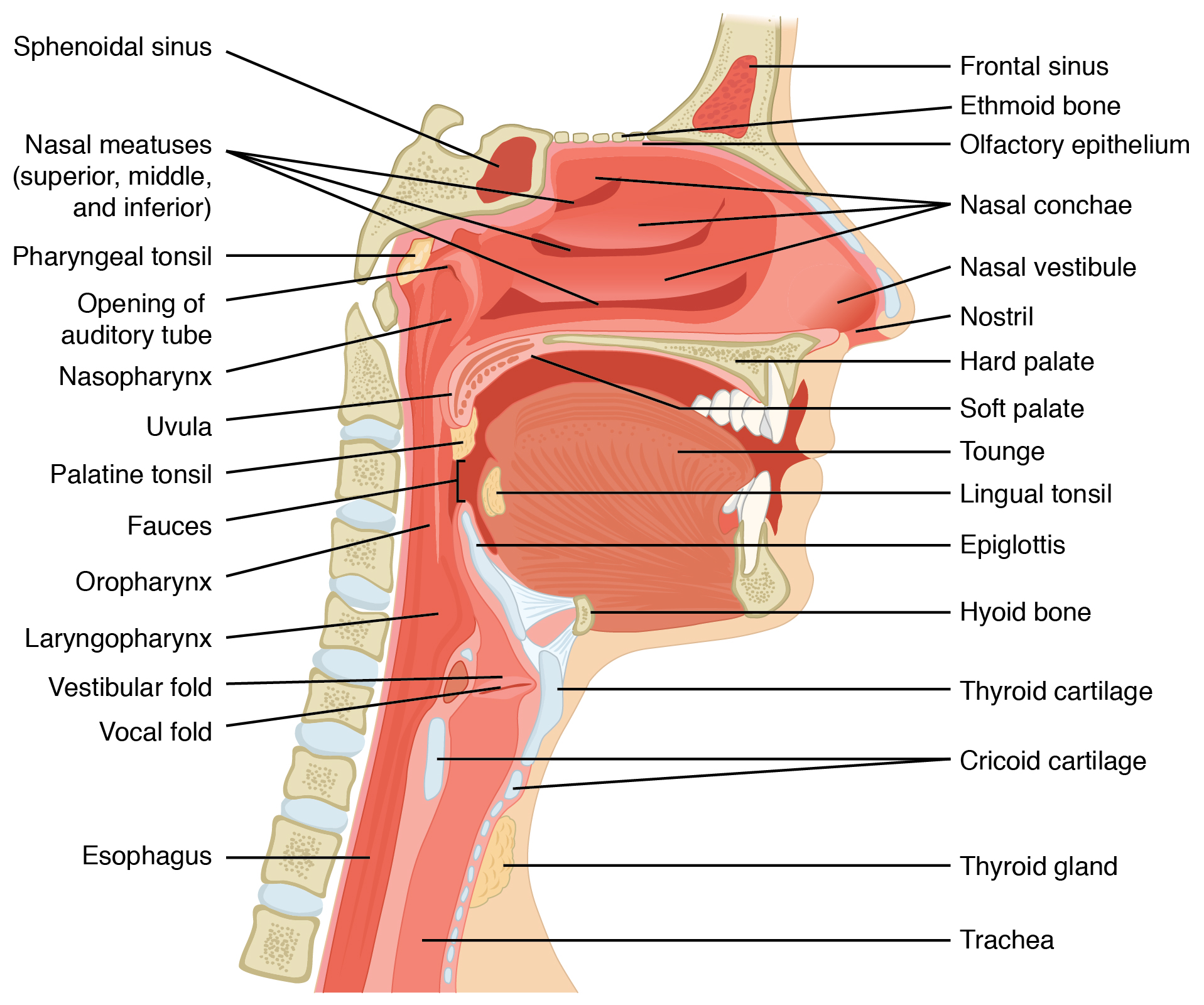 hight resolution of this figure shows a cross section view of the nose and throat the major parts