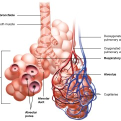 Dog Vital Organs Diagram Frigidaire Wiring 22 1 And Structures Of The Respiratory System Anatomy This Image Shows Bronchioles Alveolar Sacs In Lungs Depicts Exchange