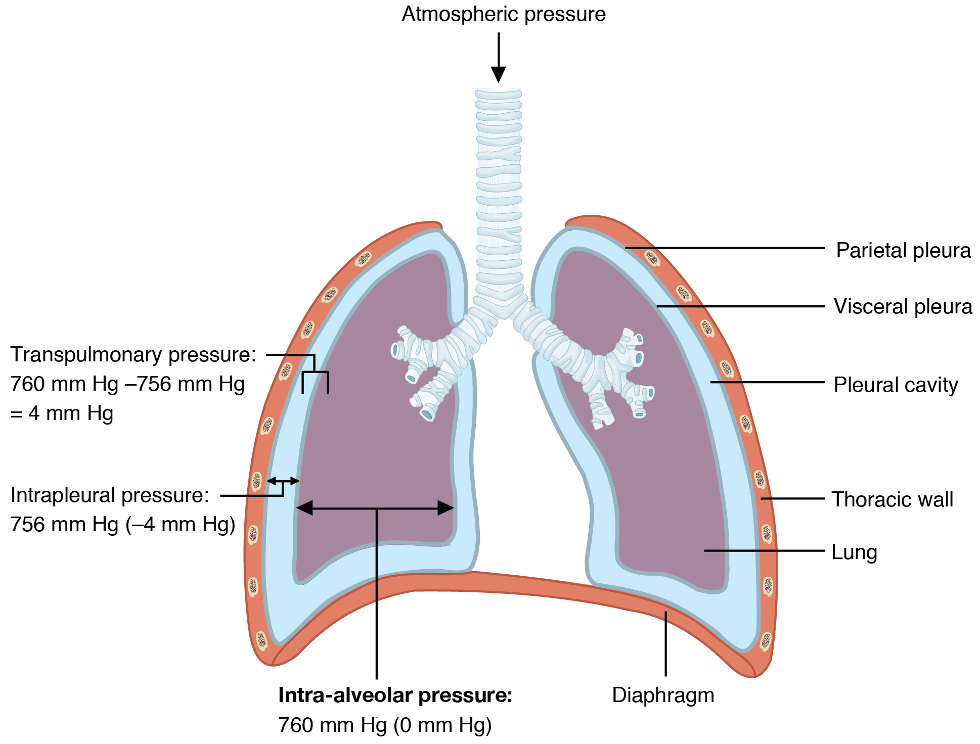 lung alveoli diagram typical house wiring 22 3 the process of breathing  anatomy and physiology