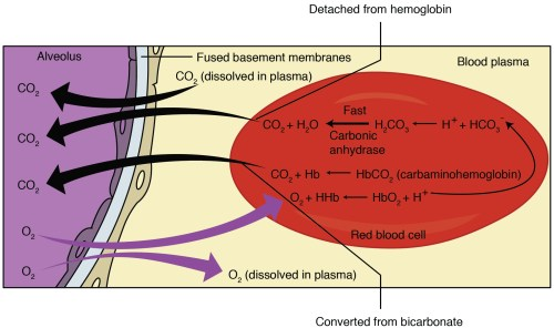 small resolution of this figure shows the pathway in which external respiration takes place the exchange of oxygen