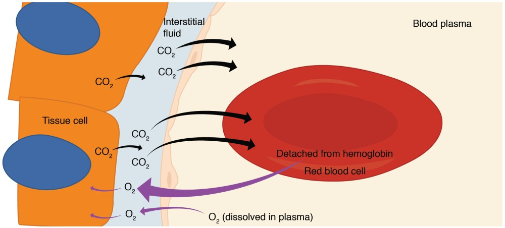 medium resolution of this diagram details the pathway of internal respiration the exchange of oxygen and carbon dioxide