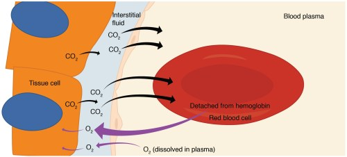 small resolution of this diagram details the pathway of internal respiration the exchange of oxygen and carbon dioxide