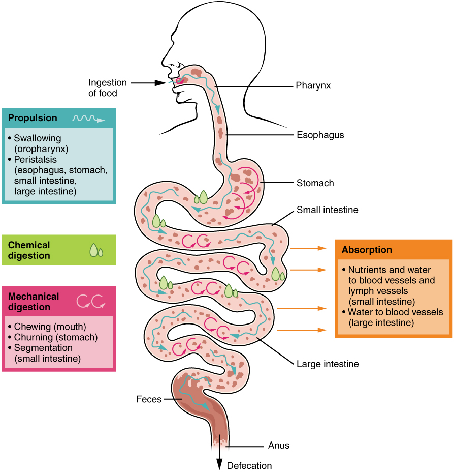 medium resolution of this image shows the different processes involved in digestion the image shows how food travels