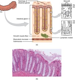 this image shows the histological cross section of the large intestine the left panel shows [ 1085 x 923 Pixel ]