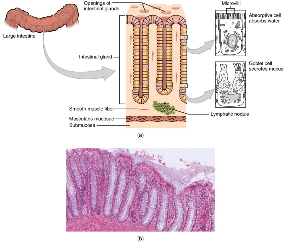 medium resolution of this image shows the histological cross section of the large intestine the left panel shows