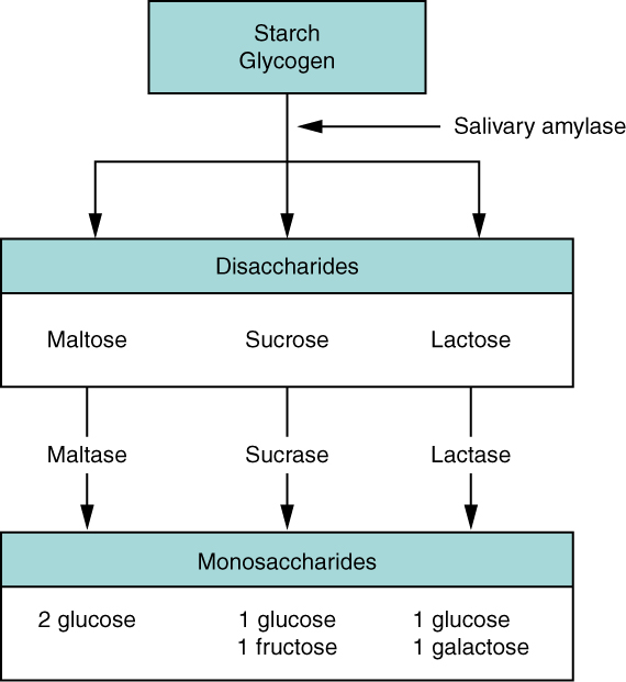flow diagram of digestive system glock 17 parts 23 7 chemical digestion and absorption a closer look anatomy this chart shows the steps in carbohydrates different levels shown are