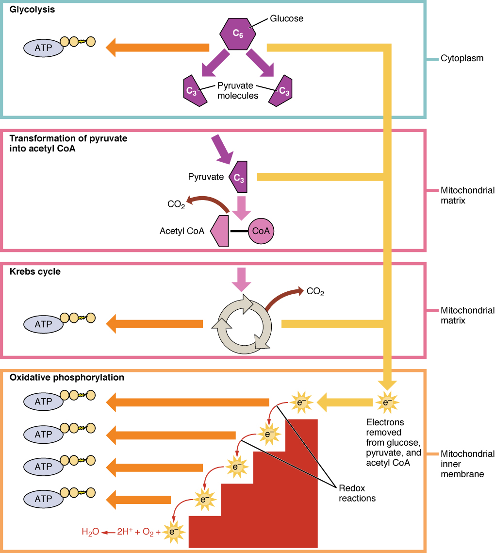 hight resolution of this figure shows the different pathways of cellular respiration the pathways shown are glycolysis