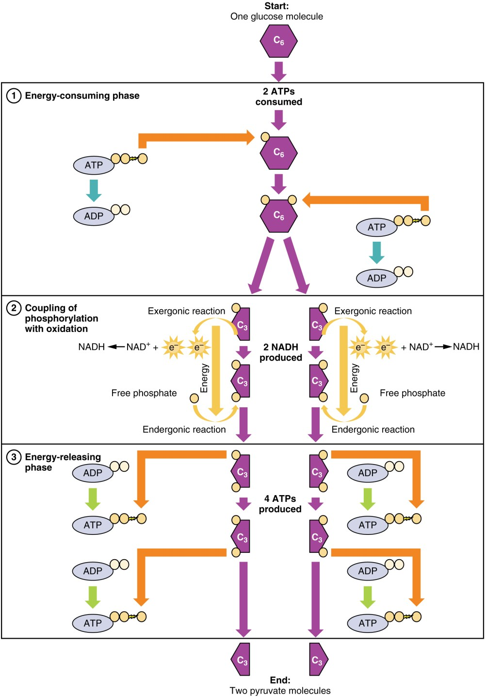 medium resolution of this flowchart shows the different steps in glycolysis in detail the top panel shows the figure 2
