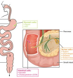 the left panel shows the main organs of the digestive system and the right panel [ 1996 x 1588 Pixel ]