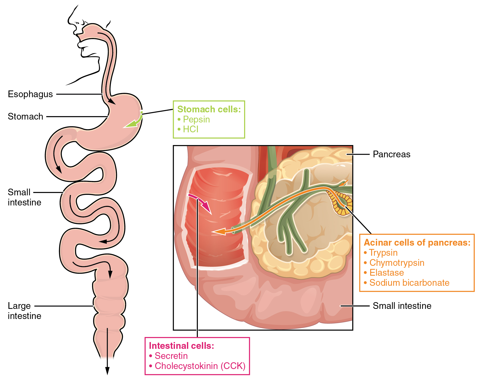 hight resolution of the left panel shows the main organs of the digestive system and the right panel