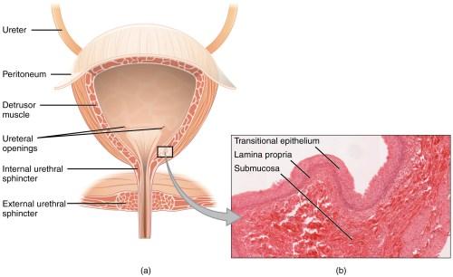 small resolution of bladder