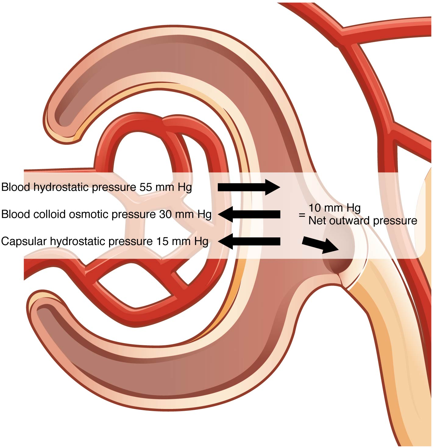 hight resolution of this figure shows the different pressures acting across the glomerulus