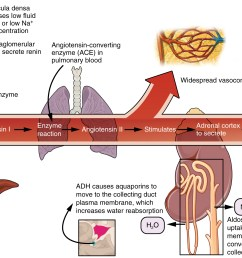 this diagram shows the pathway of action of the renin aldosterone angiotensin system  [ 2258 x 1425 Pixel ]