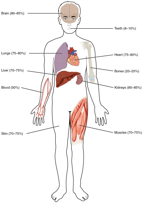 small resolution of this illustration shows a silhouette of a human body with various organs highlighted the percent