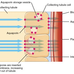 Kidney Cell Diagram Labeled Parts Of A Church 26 2 Water Balance  Anatomy And Physiology