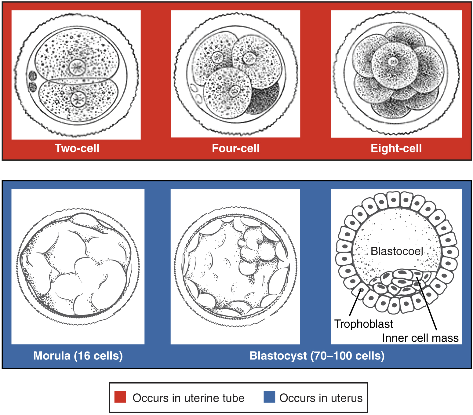 28 2 Embryonic Development Anatomy And Physiology