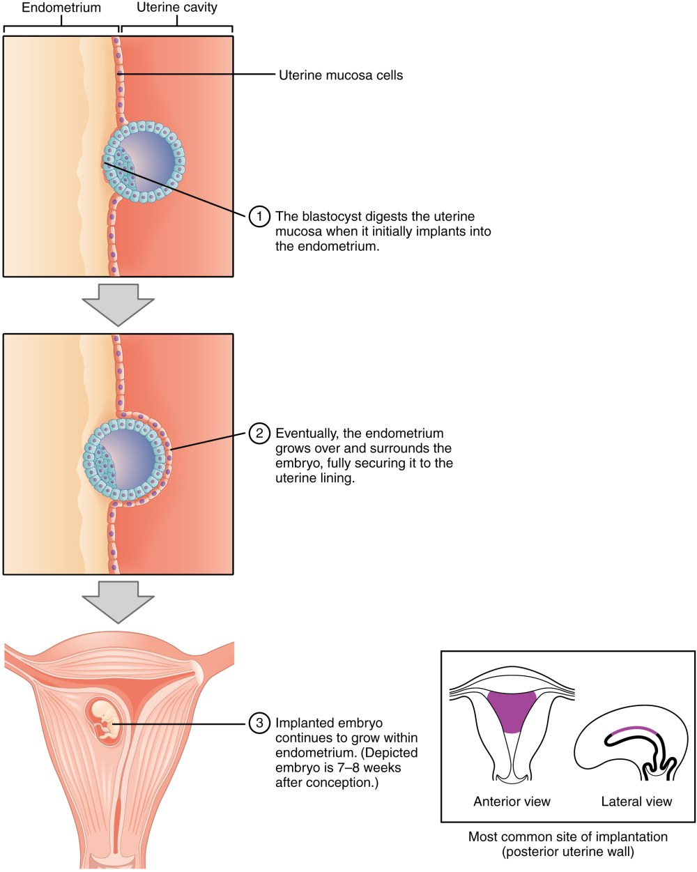 medium resolution of this figure shows the different steps during implantation the top panel shows how the blastocyst