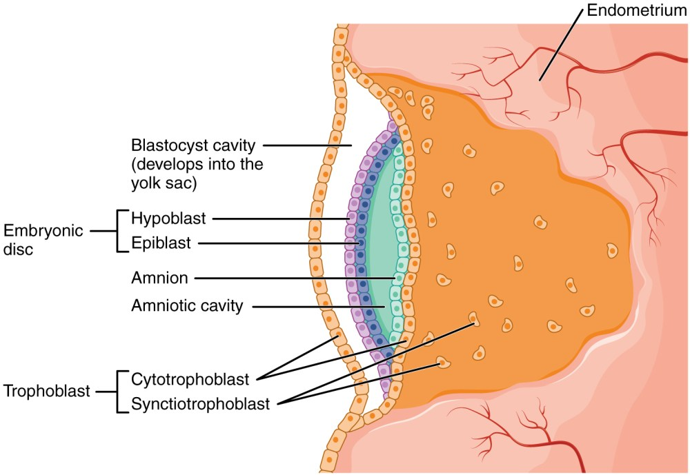 medium resolution of this image shows the development of the amniotic cavity and the location of the embryonic disc