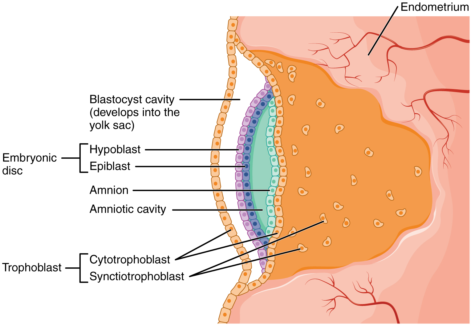 hight resolution of this image shows the development of the amniotic cavity and the location of the embryonic disc