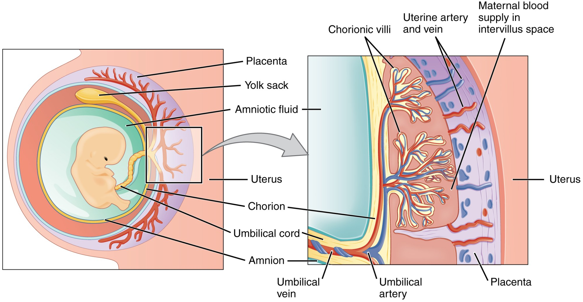 hight resolution of this figure shows the location and structure of the placenta the left panel shows a