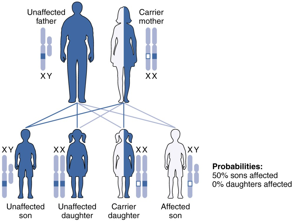 medium resolution of this figure shows the offspring from a carrier mother with the x linked recessive inheritance