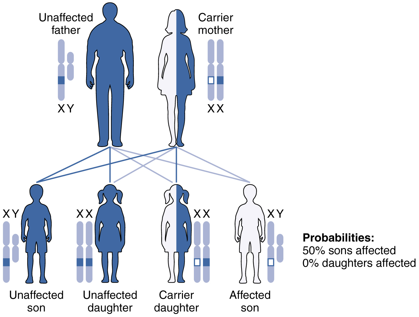 hight resolution of this figure shows the offspring from a carrier mother with the x linked recessive inheritance
