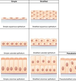 this figure is a table showing the appearance of squamous cuboidal and columnar epithelial tissues [ 1209 x 970 Pixel ]
