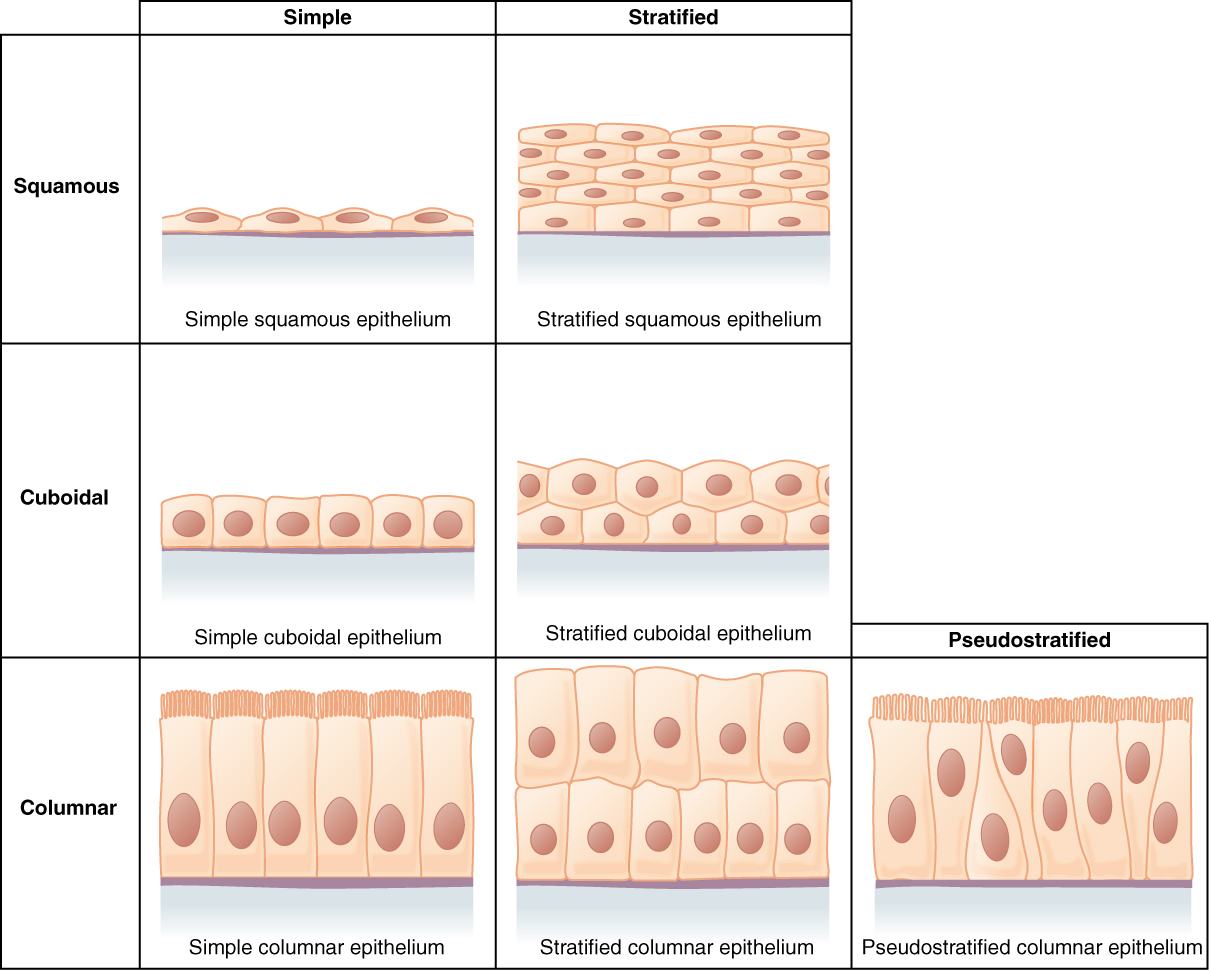 hight resolution of this figure is a table showing the appearance of squamous cuboidal and columnar epithelial tissues